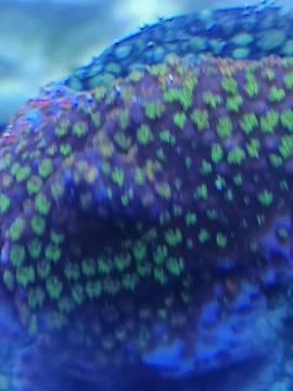 Montipora Rainbow - Bild vergrößern