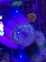 Funghia Tricolor