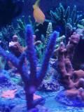 Acropora sp blau